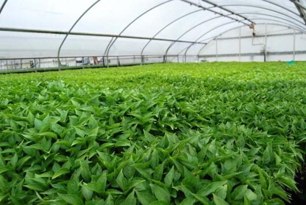Jalapeno Greenhouse