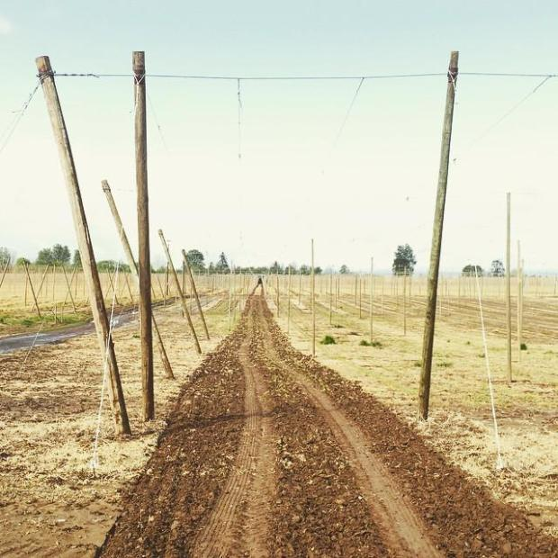 Valley Malt Hop rows