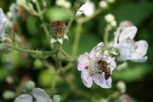 Bee On Marionberry