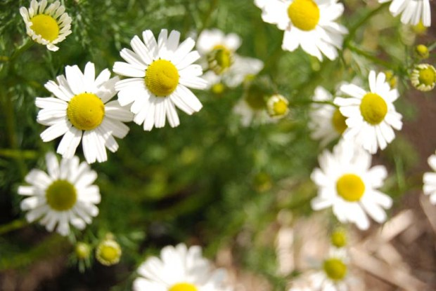 Chamomile flowers in the Rogue Farms Revolution Garden.