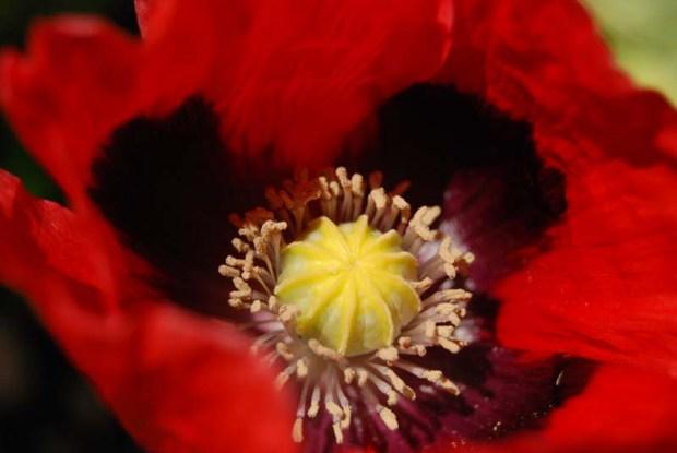 poppy 6