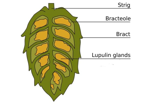Anatomy Of A Hop Cone