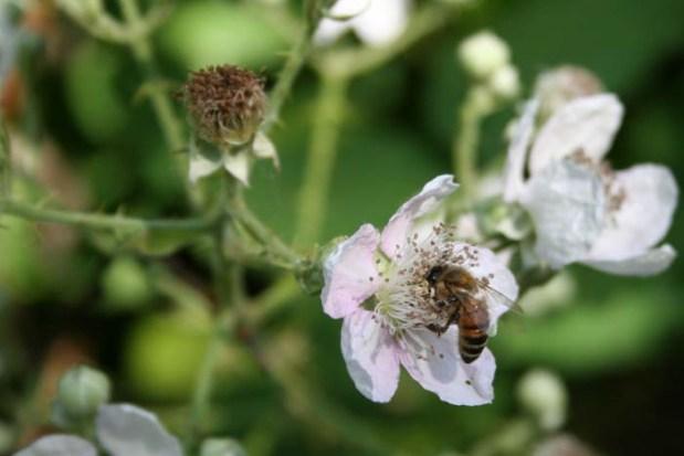 Blackberry Bee Western Oregon Wikimedia