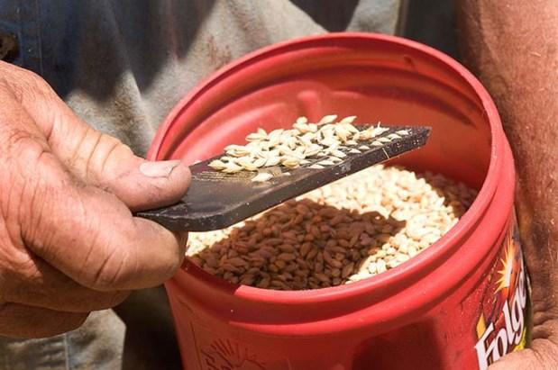 Inspecting barley samples.