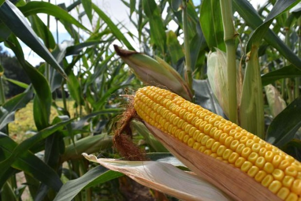 Corn August 2015 DSC_0089