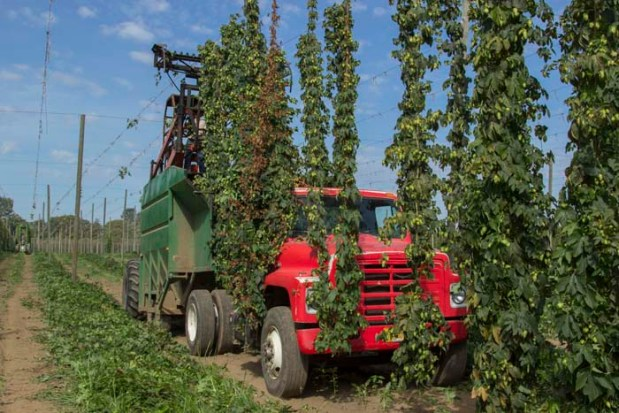 The 2015 Hop Harvest At Rogue Farms.