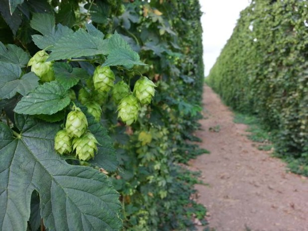 Hop Rows Aug 29