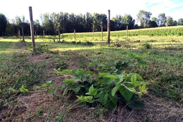 Marionberry Trellis Poles 3 Aug 2015