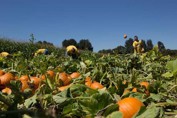 Pumpkin-Picking--45