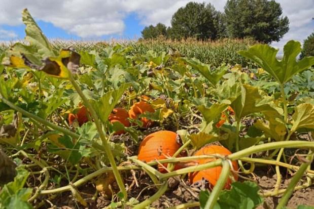 Pumpkins August 2015 4