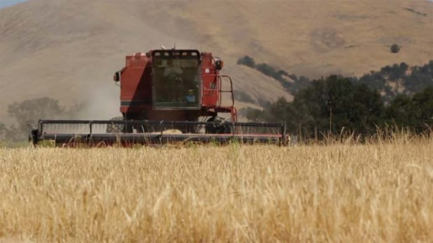 Risk Barley Harvest 2