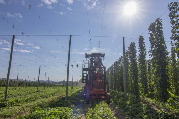 Freedom Hop Harvest