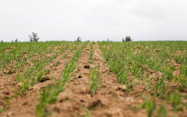The shoots of this year's Risk barley crop first appeared last November.