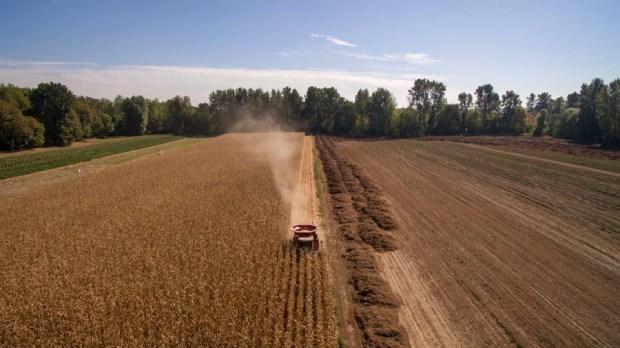 Corn-Harvest-15