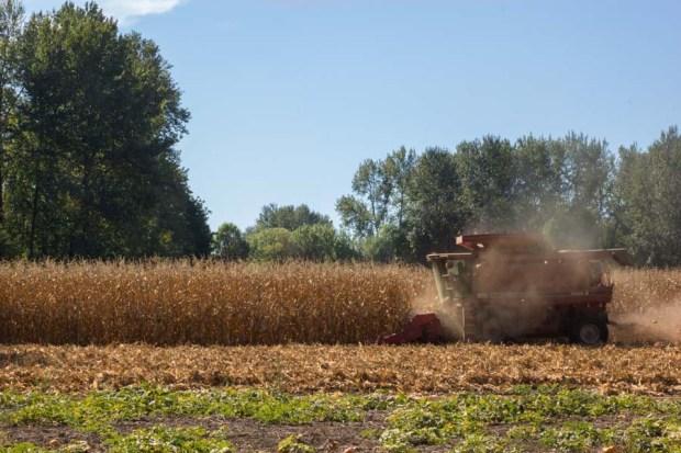 Corn-Harvest-3
