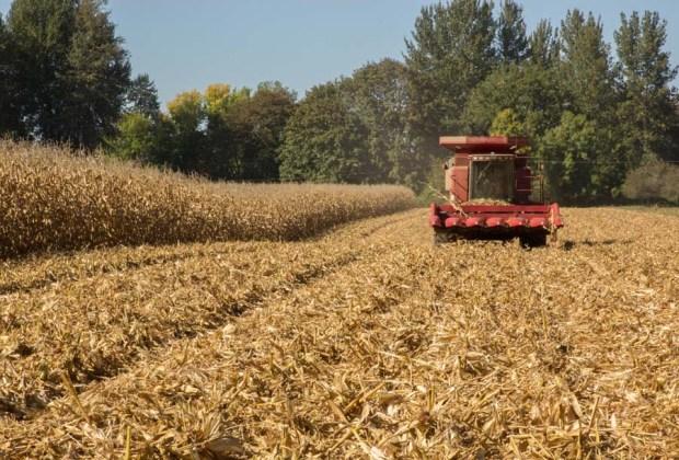 Corn-Harvest-7
