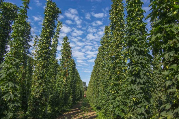 Rogue Farms Freedom hops at harvest time.