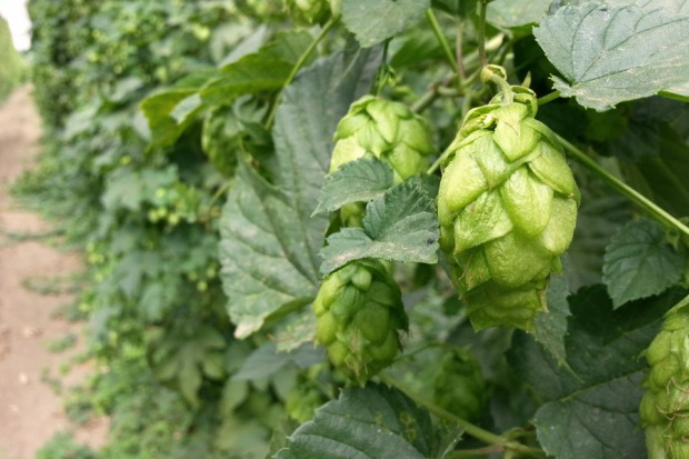 Hop Rows August