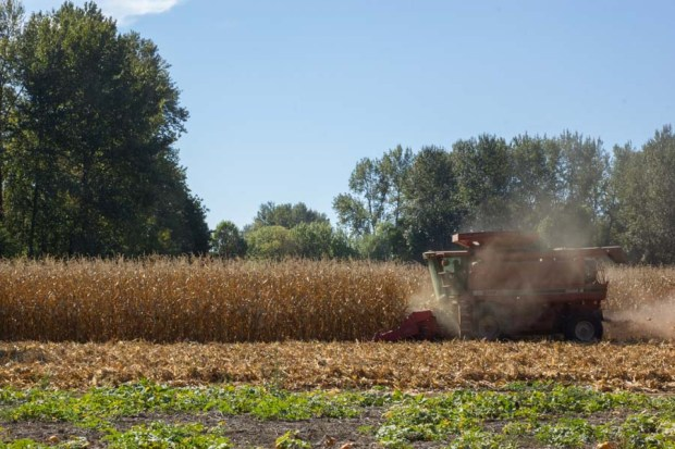 Harvesting Rogue Farms Wigrich Corn.
