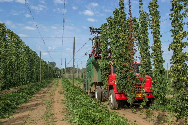 Harvesting Rogue Farms Freedom hops in 2014. The soil here is made up of alluvial loam, soils that are rich in minerals but also drain well to prevent fungal diseases that are common with hops.