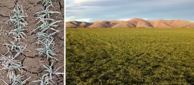 Left: A heavy frost on our Risk malting barley last winter. Right: We replanted the acres the following spring.