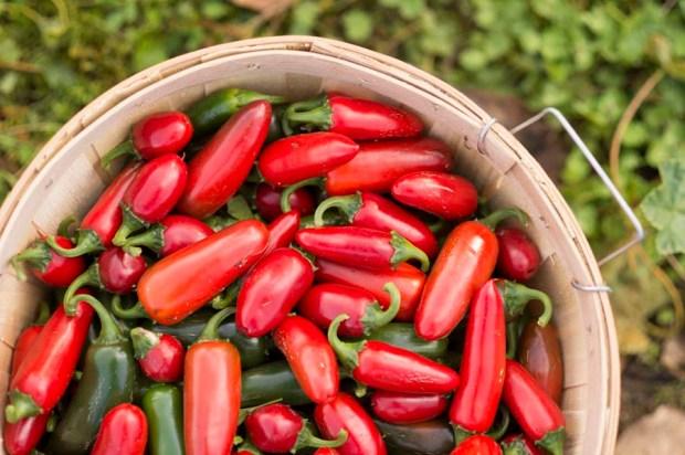 Jalapeno Harvest