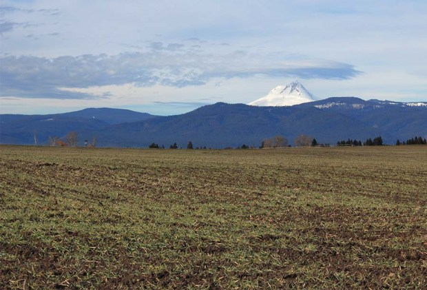 Mt. Hood watching over a field of Risk malting barley in winter.