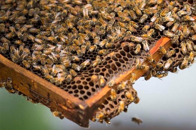 honeybees in frame