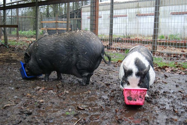 Don't worry about our Potbellied Pigs Voo and Doo. They are out of the floood plain with plenty of food. They actually like this weather.
