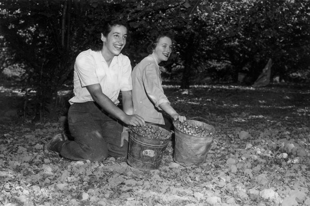 Picking hazelnuts by hand in 1945. Oregon State University photo.
