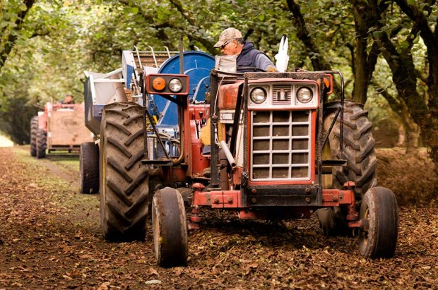 Nowadays, the fallen nuts are swept into long rows and raked off the orchard floor using a mechanical harvester.