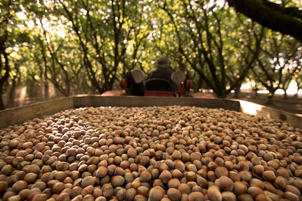 99.6% of all US hazelnuts are grown within a couple of hours from Rogue Farms in Independence, Oregon.