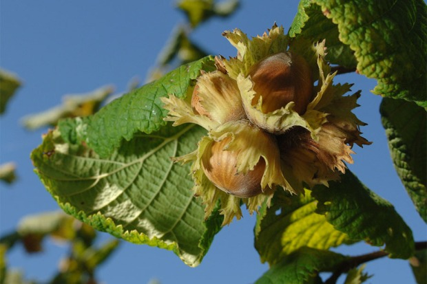 Hazelnuts in husks. Oregon State University photo.