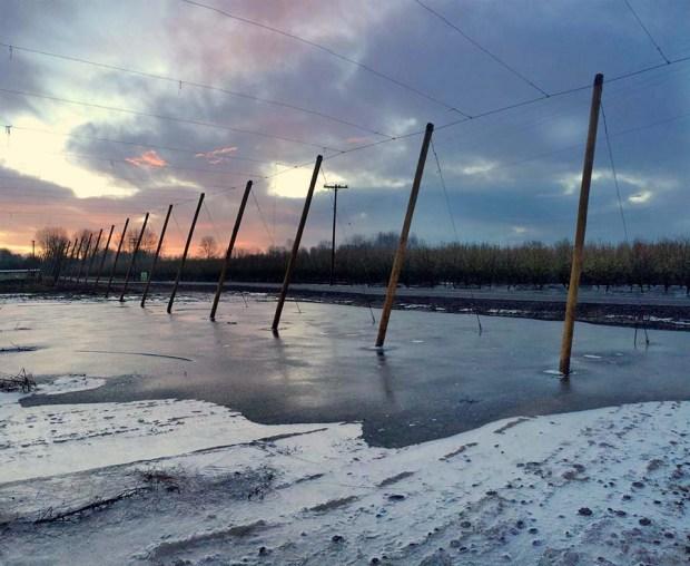 Sunrise over an icy hopyard at Rogue Farms.