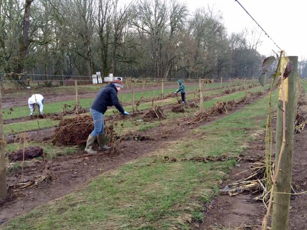Cleaning up the marionberry field.