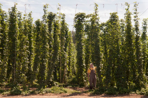 Where's John? Rogue Brewmaster John Maier on the first day of the hop harvest.