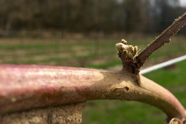 Marionberry Bud