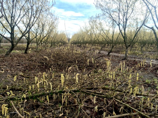 Just trimmed branches litter the floor of the hazelnut orchard at Kirk Family Filberts.