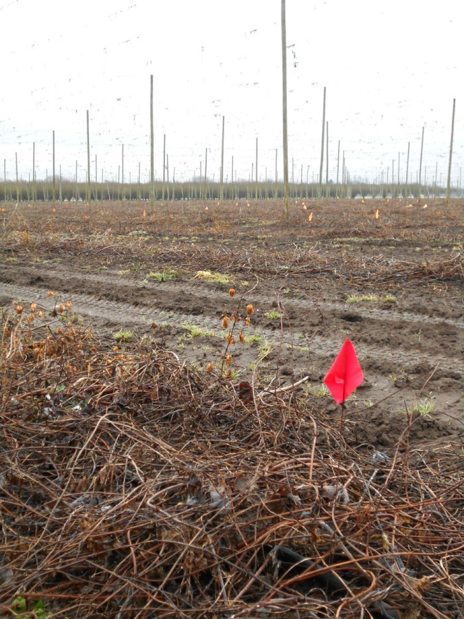 The little red flag marks the spot of a male bine.