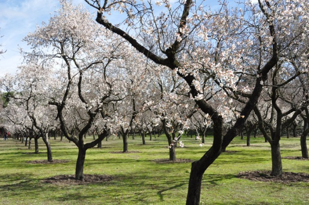 Blossoming almond trees in Northern California.