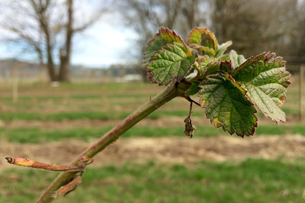 Marionberry bud