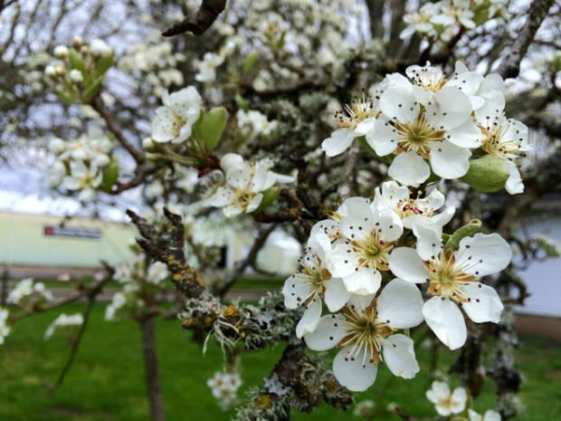 Pear blooms Photo Mar 28, 12 02 16 PM