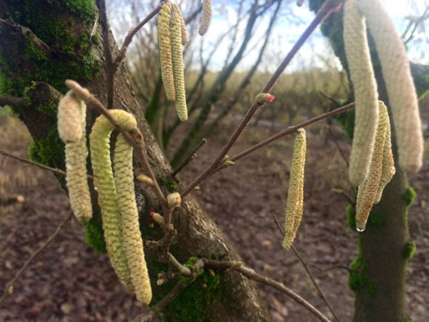The long droopy flowers, called catkins, are the male flowers. The small red ones, called florets, are the female part of hazelnuts.