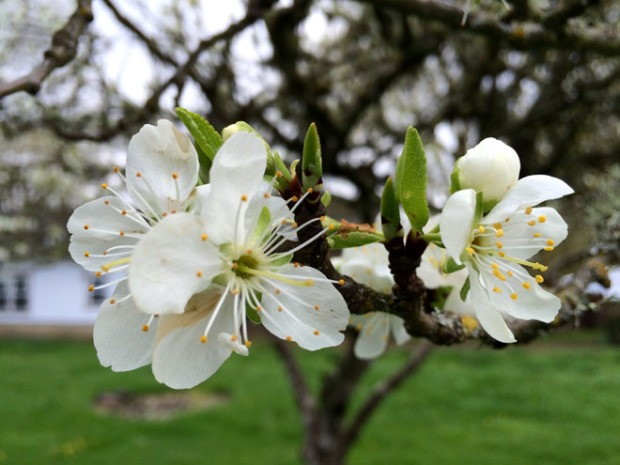 Plum Blooms Photo Mar 28, 12 03 07 PM
