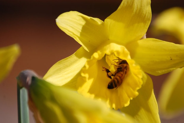 A Rogue Farms honeybee on a daffodil.