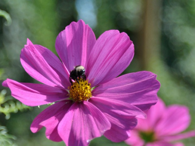 Bees Wildflowers July 2015_DSC0575-2