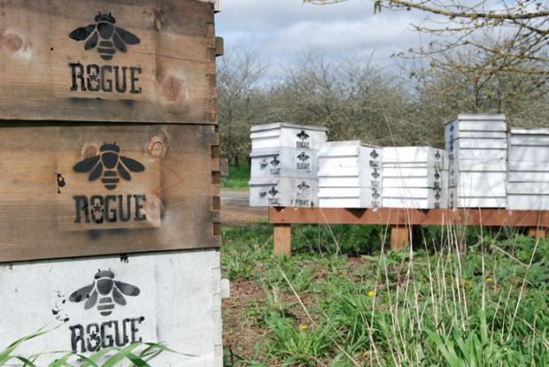 At Rogue Farms, the bottom two boxes is where the queen lays eggs and the brood is raised. The top one or two boxes are supers which is where the bees store surplus honey.