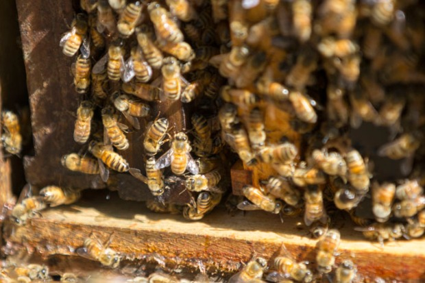 The population of a hive grows quickly during spring. The colony needs as many bees as possible to collect nectar, make honey, and store it.