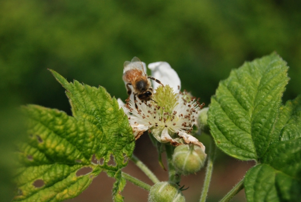 Marionberry Blossom and bee (2)
