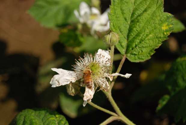 Marionberry Blossom and bee (9)